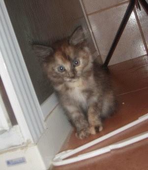 Tri color kitten.