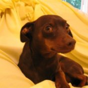 Chihuahua Min Pin mix.