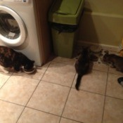 Adult Calico cat and two kittens in laundry room.