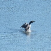 Dancing With The Loon (Wendsley Lake, Ontario)