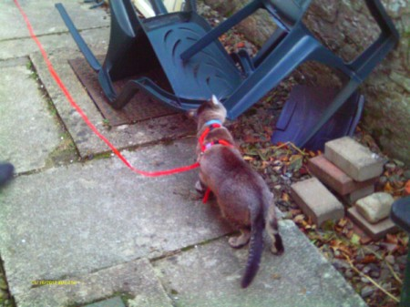 Cat exploring while on leash.