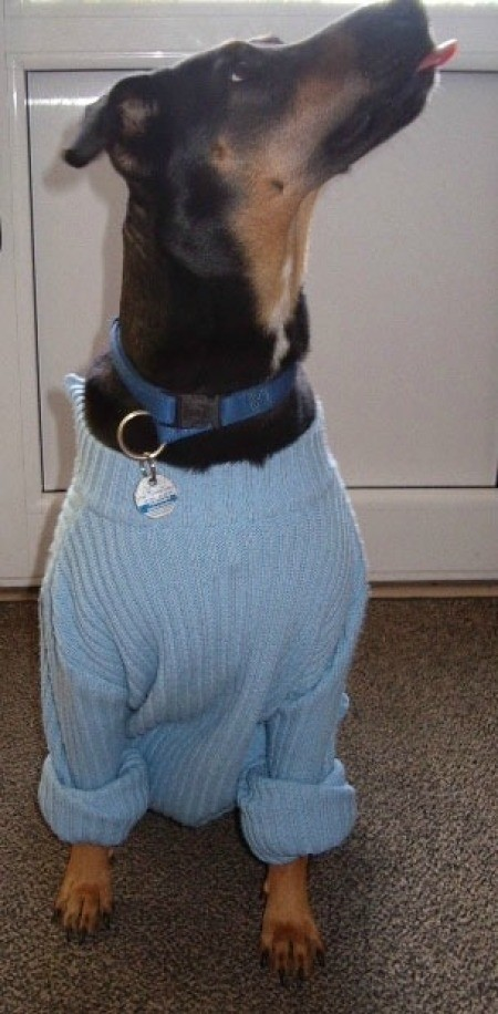 Black and tan dog in blue sweater.