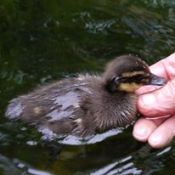 Duckling in water near person's hand.