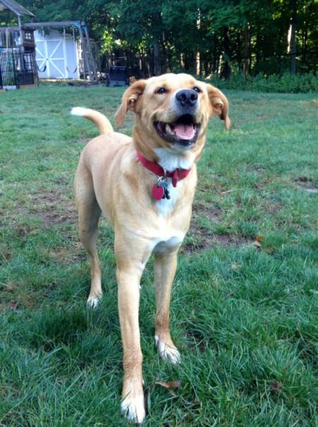 Yellow mix breed dog in yard.
