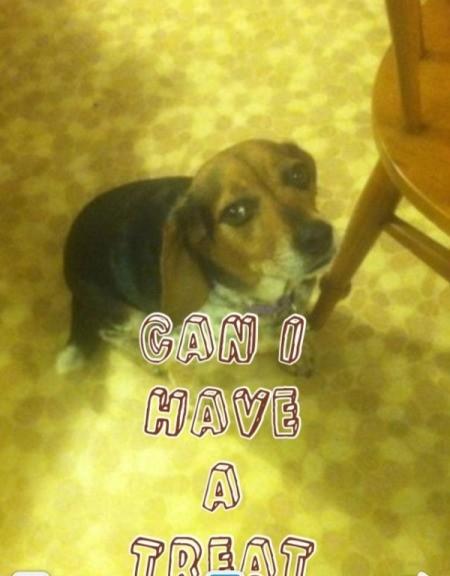 Beagle looking up at camera.