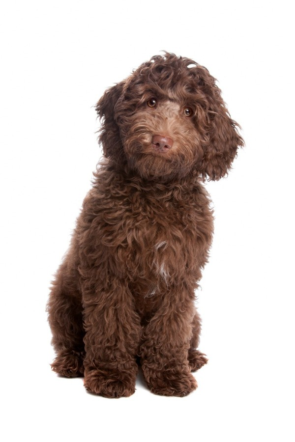 Labradoodle Information And Photos Thriftyfun
