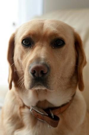 Photo of a smart looking labrador retriever.