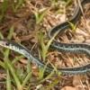 A Non-Poisonous Garter Snake.