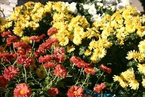 The Queen of Fall Flowers - the Magnificent Mum