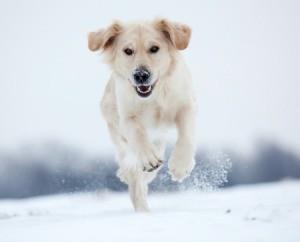 A golden retriever running in the snow.