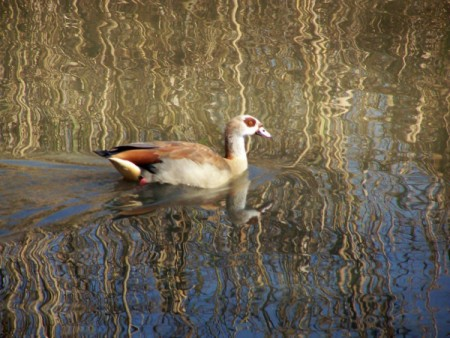 Bird swimming on rippling water.