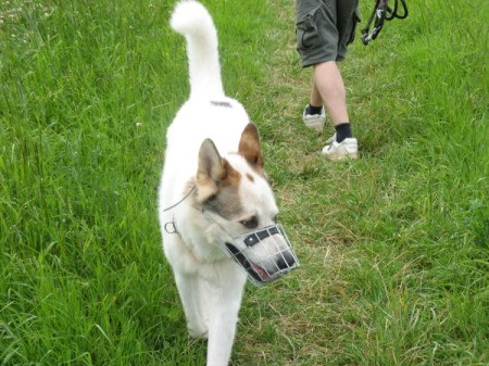 Short haired white dog with brown ears.