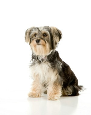 Cute Shih Tzu Matlese Mix Puppy