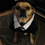 Dog in black hat and white shirt and jacket.