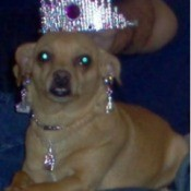 Dog with earrings, necklace, and tiara.