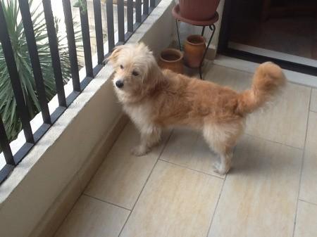 Medium sized tan dog.