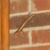 Skink on brick wall.