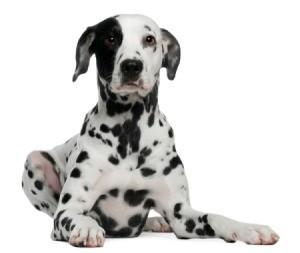 Photo of a pure bred dalmatian.