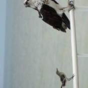 Mockingbird and Osprey (Marco Island, FL)