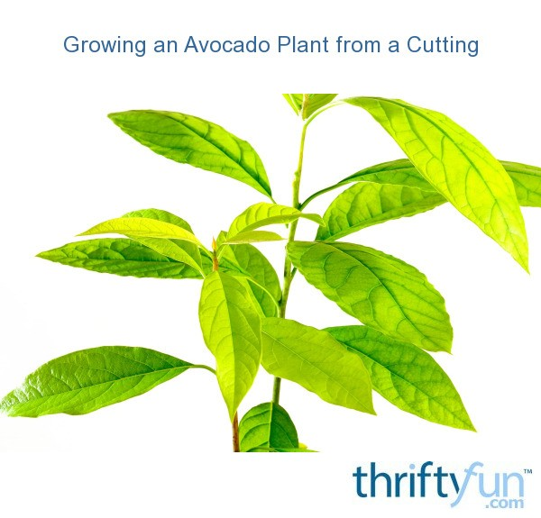 Growing An Avocado Plant From A Cutting