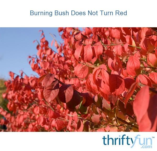 Burning Bush Does Not Turn Red Thriftyfun