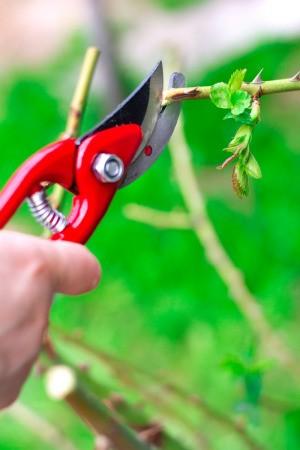 Pruning a rose bush.