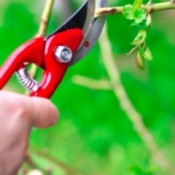 Pruning a rose bush.