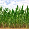 Photo of a cornfield with straight rows of corn.