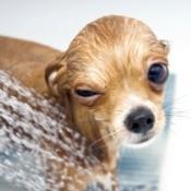 A dog getting a bath.