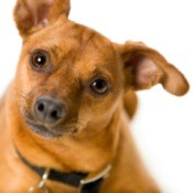 Miniature Pinscher Mix