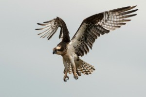 An osprey landing.
