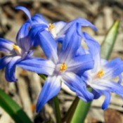 Growing Chionodoxa