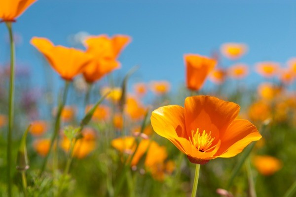 Growing california poppies thriftyfun for Best flowers to grow in california