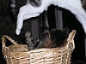 Kitten in basket and cat jumping over.