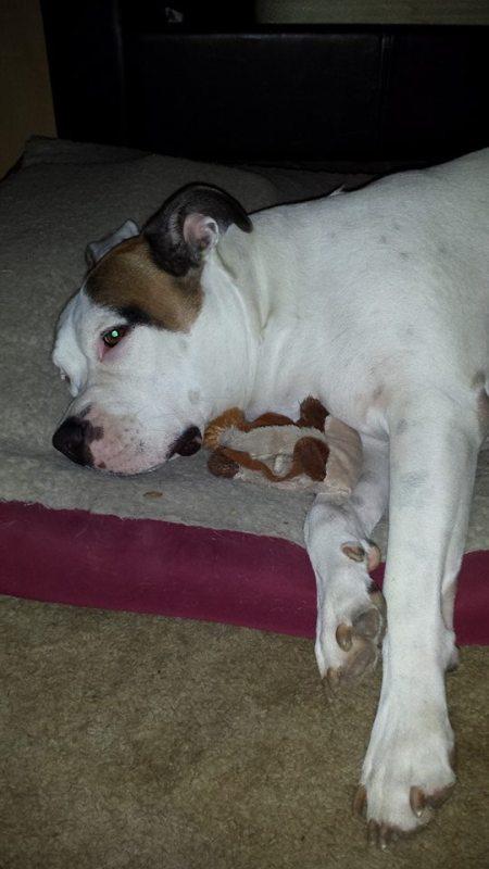 White and brown bulldog.