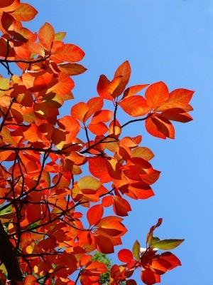 Wildfire Black Gum Tree