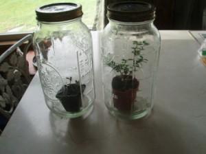 Small plants inside Mason jars.