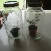 Small plants inside Mason jars.
