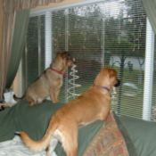 Dogs looking out the window.