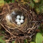 A nest containing bird eggs.