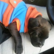 Small brown puppy wearing blue and orange coat.
