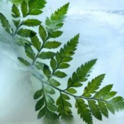 Fern in the ice and snow.