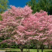 Dogwood tree in spring.