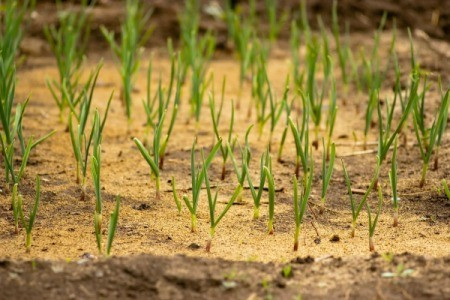 Growing onions with sawdust.