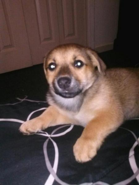 Tan puppy with dark muzzle.