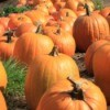 A large pumpkin harvest in fall.