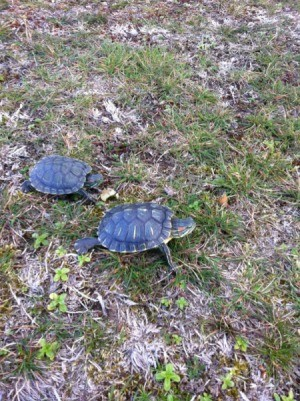 Two turtles on the lawn.