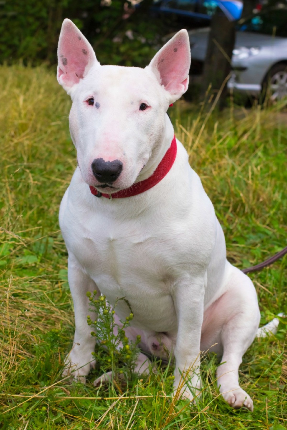 Bull Terrier Breed Information and Photos | ThriftyFun