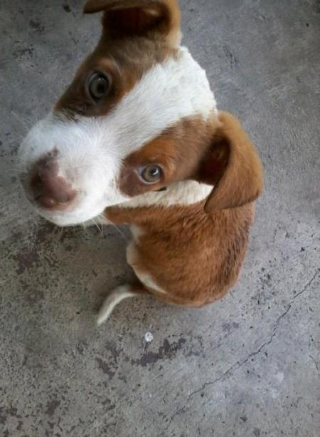 Closeup of reddish brown and white puppy.