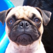 Maybelline (Pug)